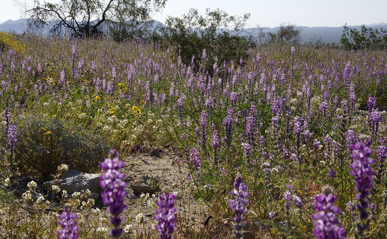 Joshua Tree National Park Wildflowers 25.jpg