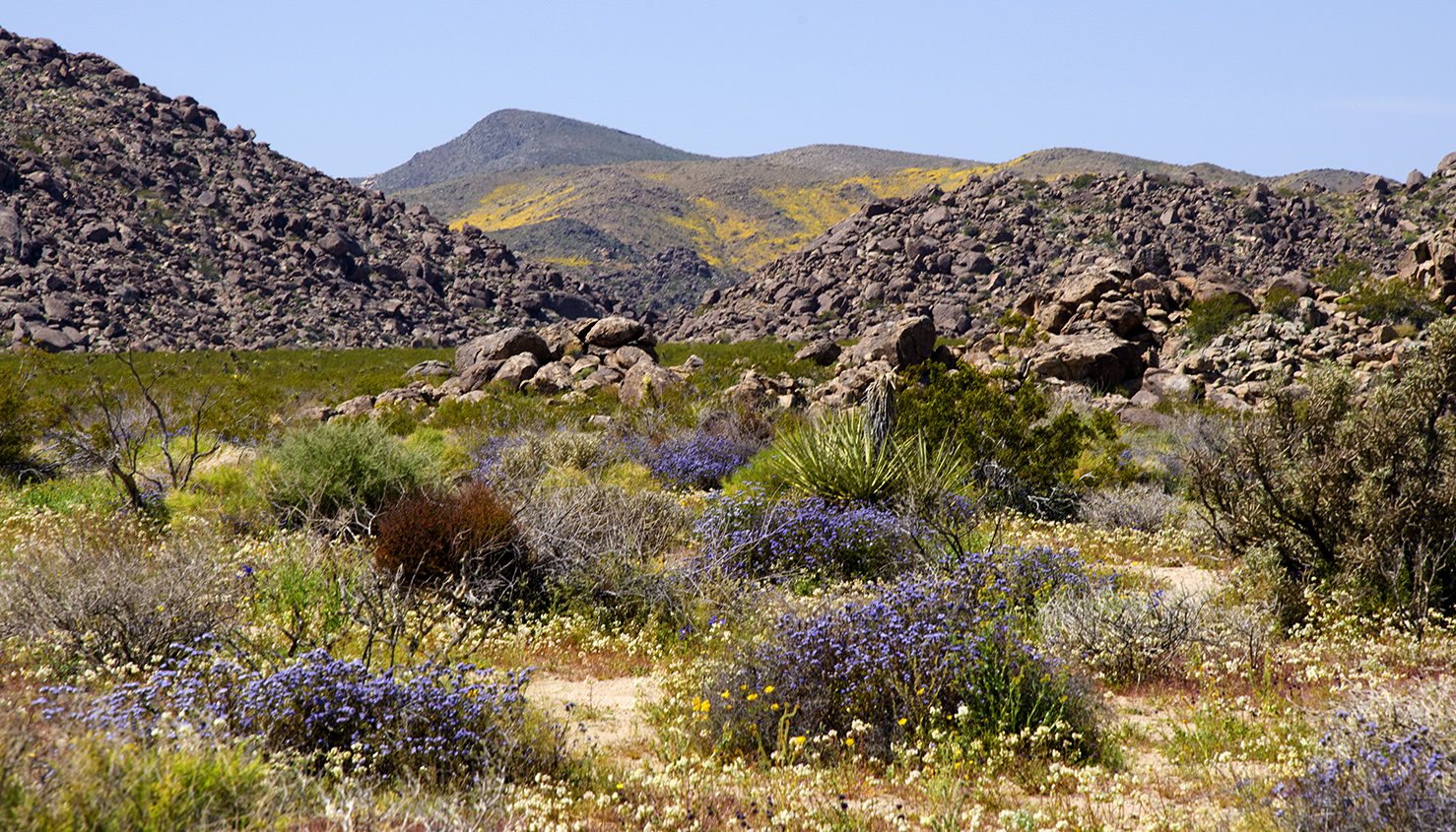 Joshua Tree National Park Wildflowers 28.jpg