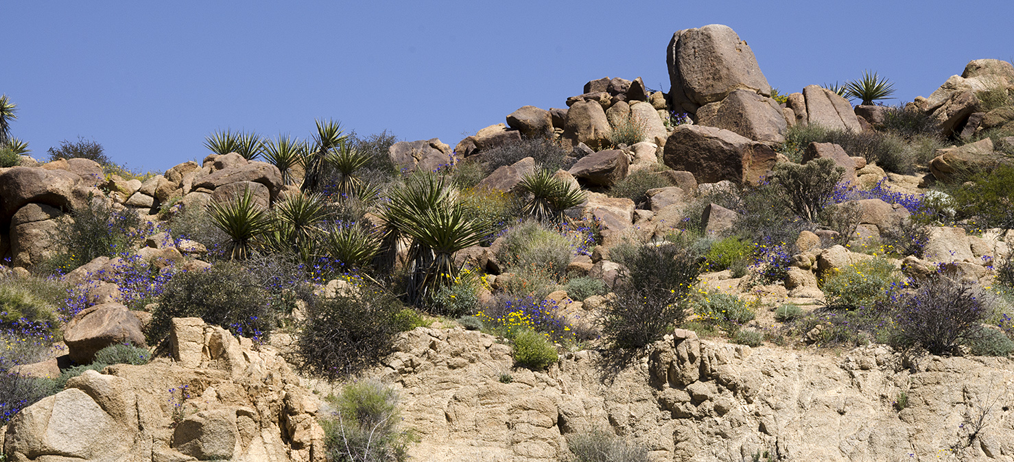 Joshua Tree National Park Wildflowers 30.jpg
