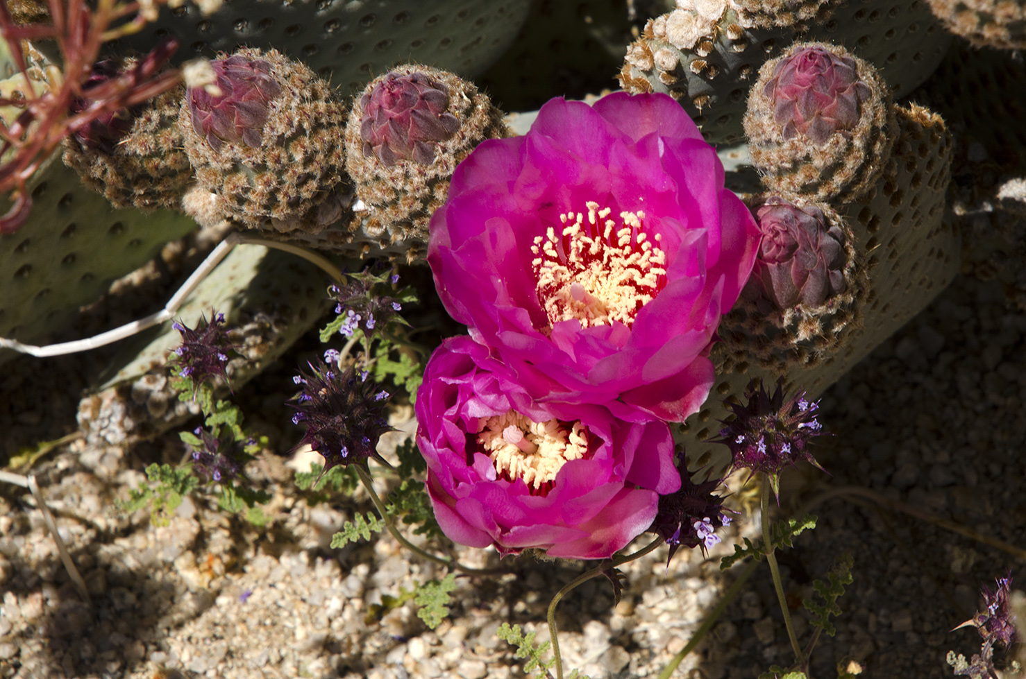 Joshua Tree National Park Wildflowers 31.jpg