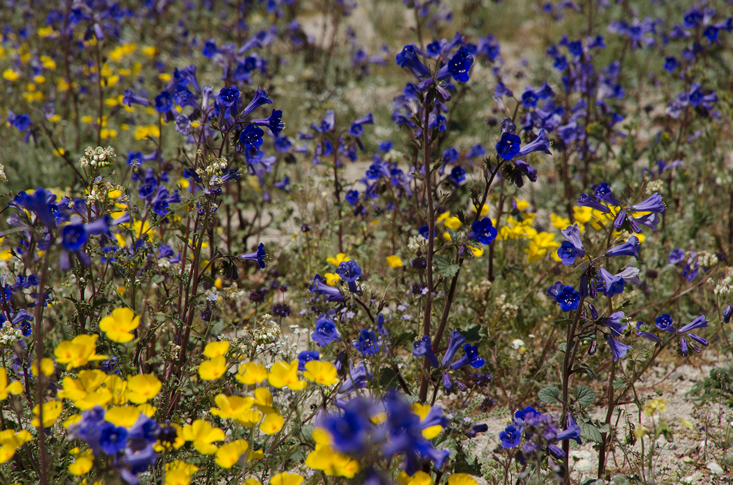 Joshua Tree National Park Wildflowers 32.jpg