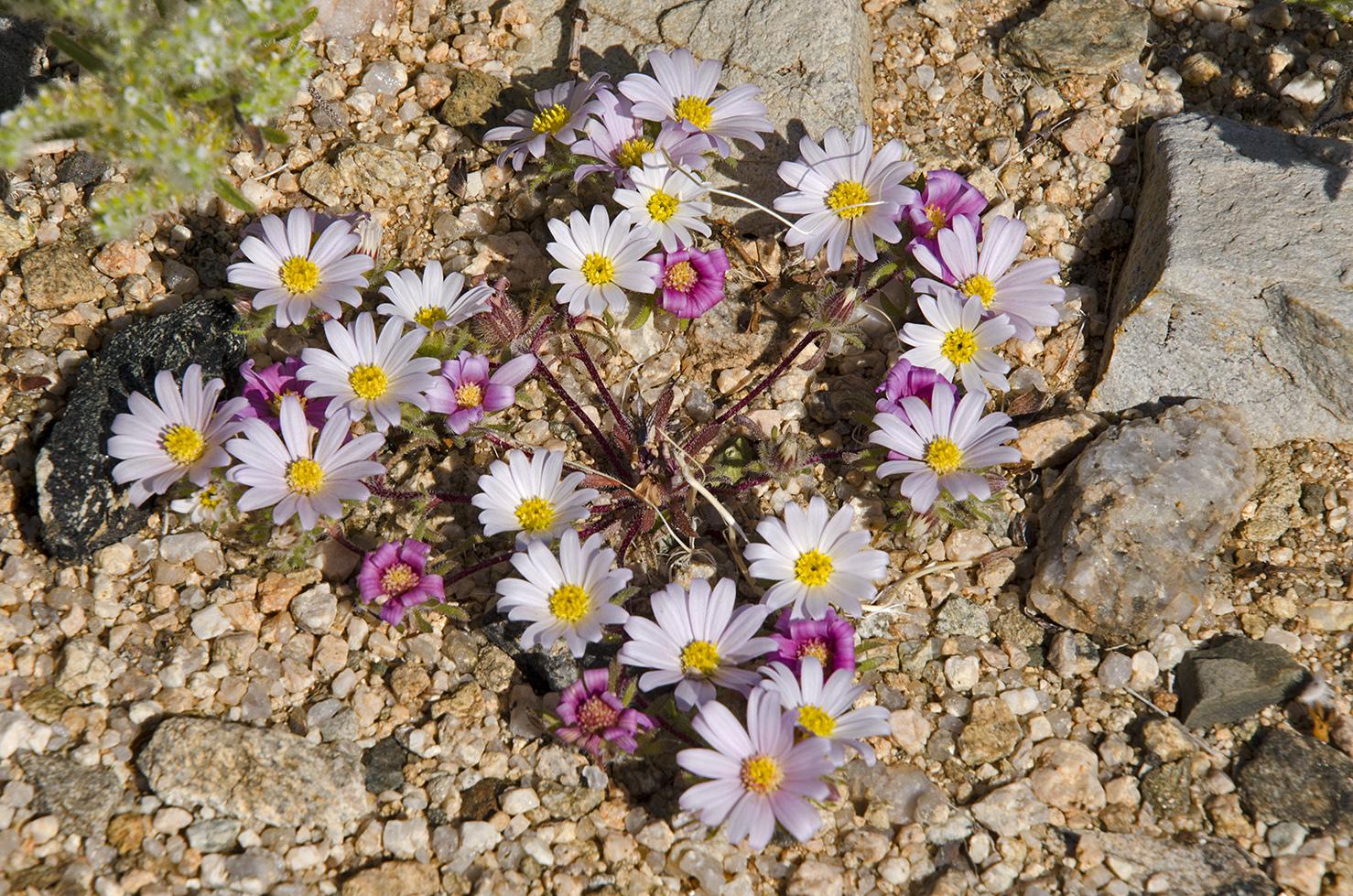 Joshua Tree National Park Wildflowers 38.jpg