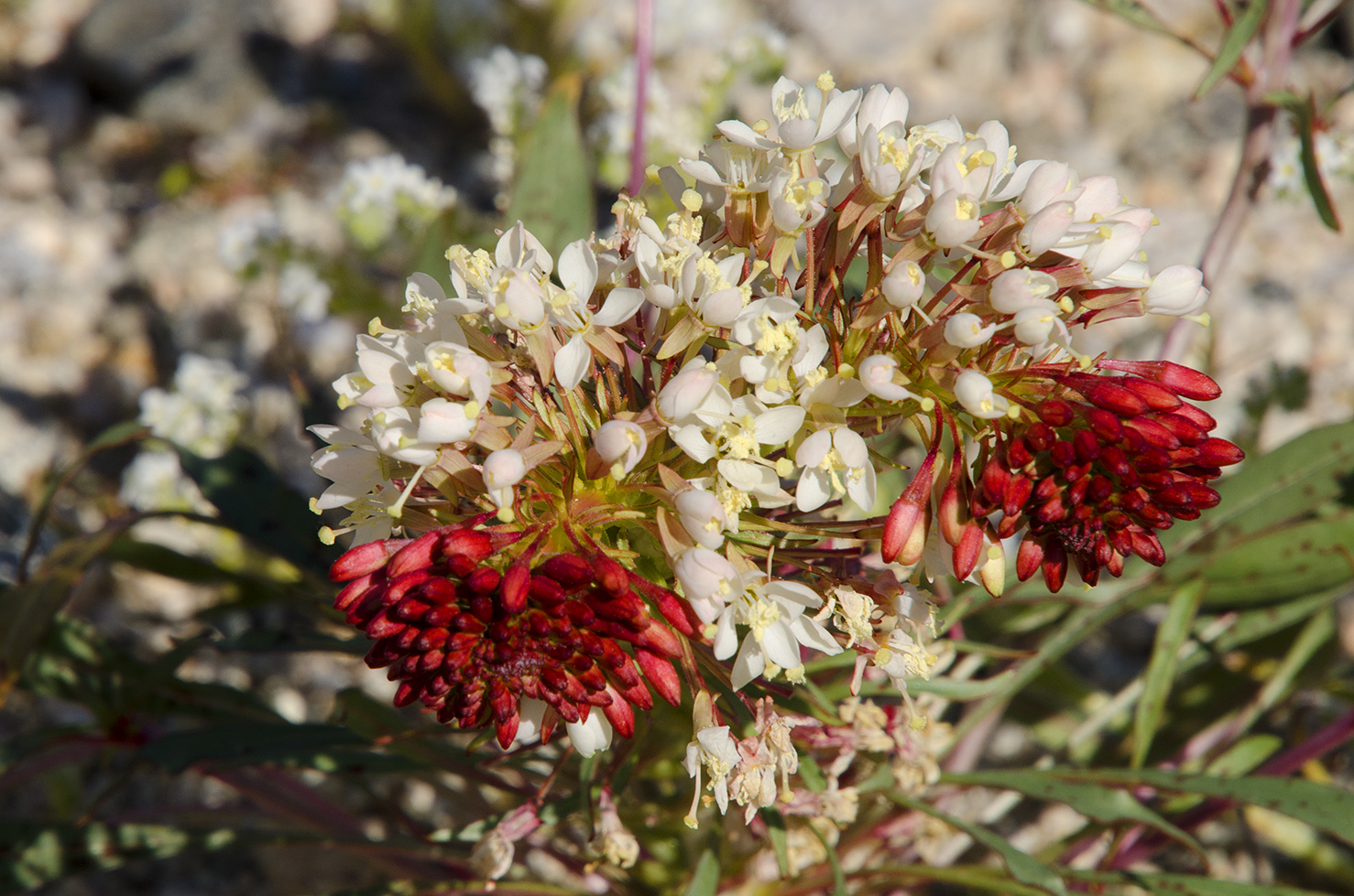 Joshua Tree National Park Wildflowers 39.jpg