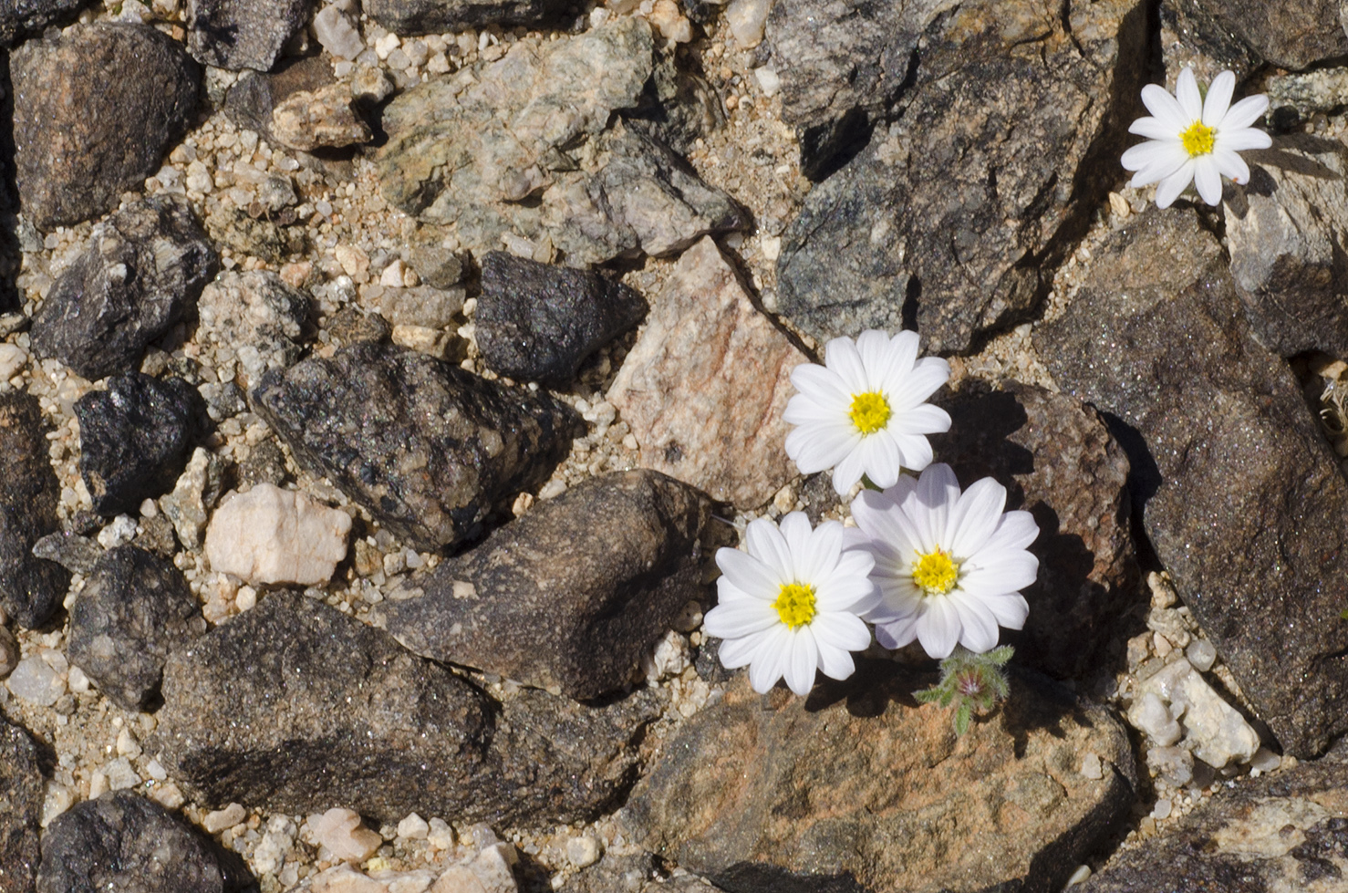 Joshua Tree National Park Wildflowers 45.jpg