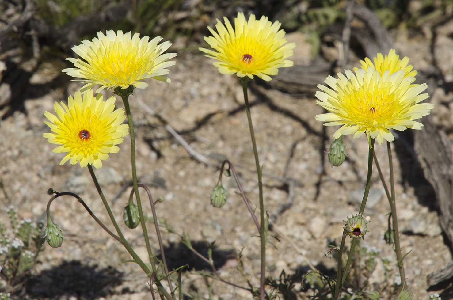 Joshua Tree National Park Wildflowers 46.jpg