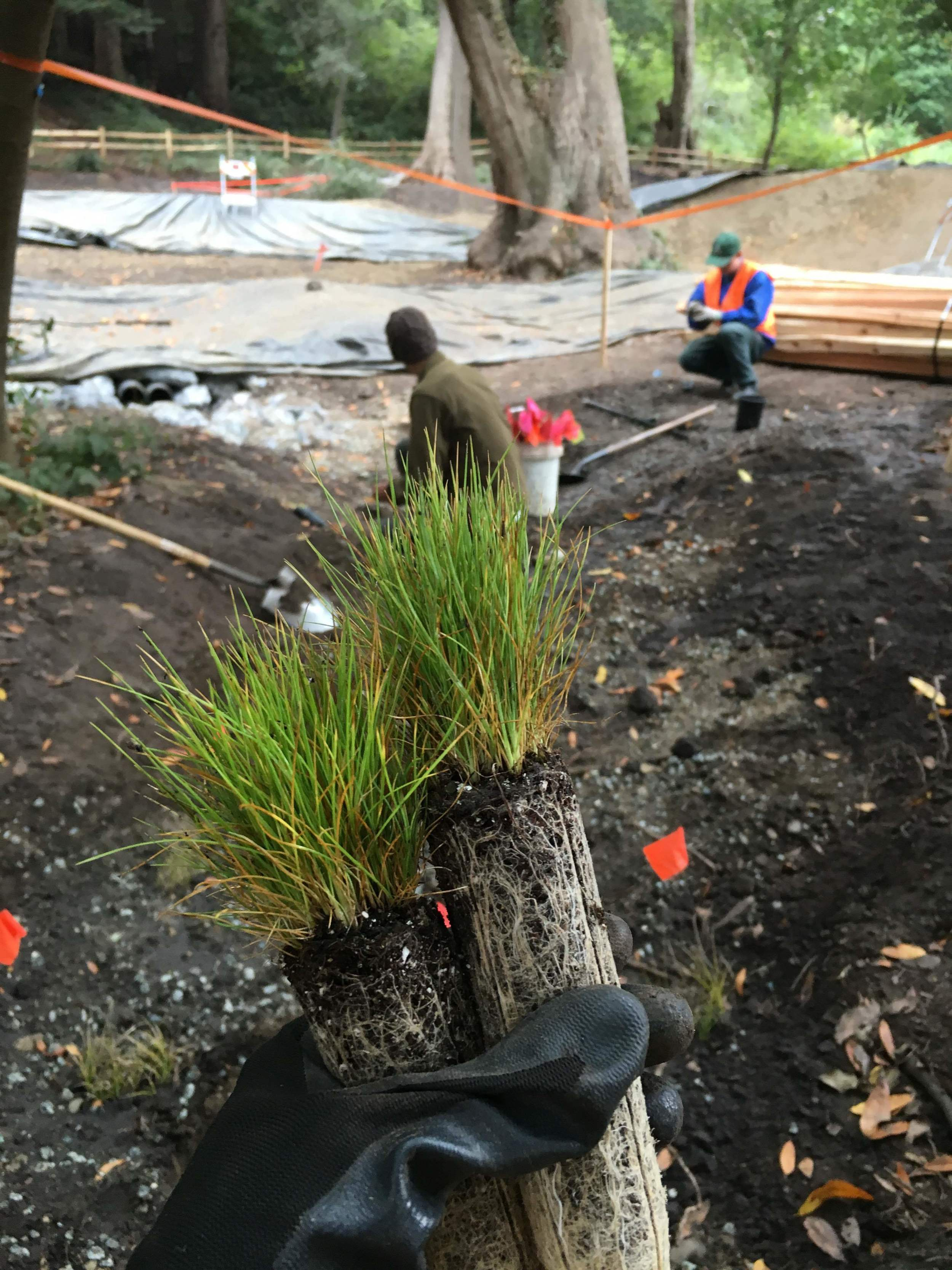 Native grasses planted to stabilize slopes