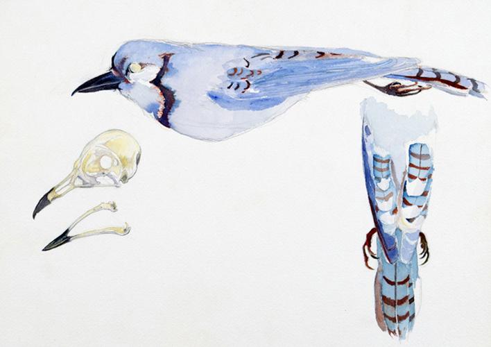 Blue Jay Skin (Field Museum)