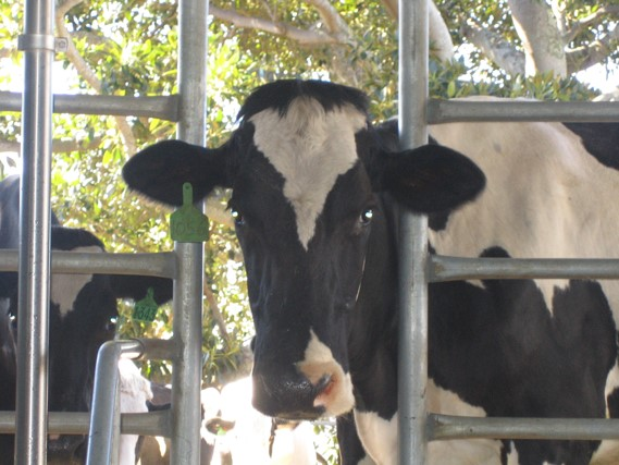 Australian dairy farm showing cow bearing a National Livestock Identification System (NLIS) tag on its ear. Courtesy of Mr Adam Trevarthen.