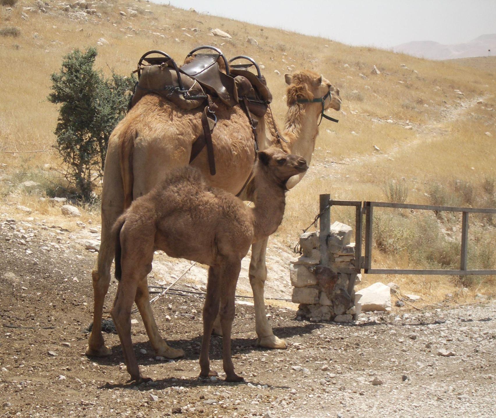 IMGP3231 Camels