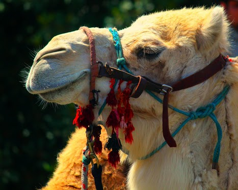 Camel rides for everyone!