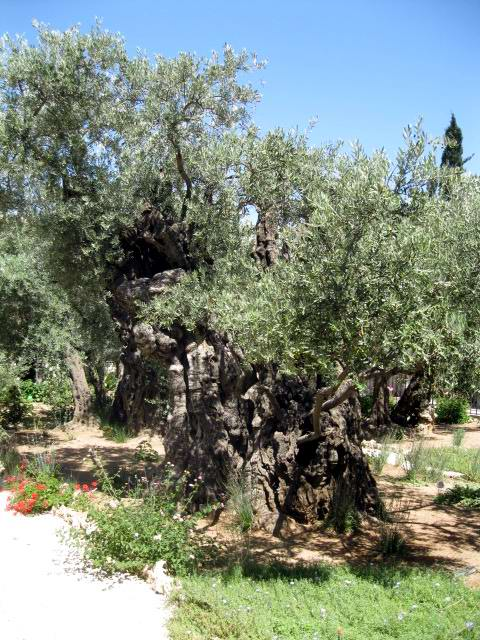 Gnarly tree in the Garden of Gethsemane which could be 2000 years old.