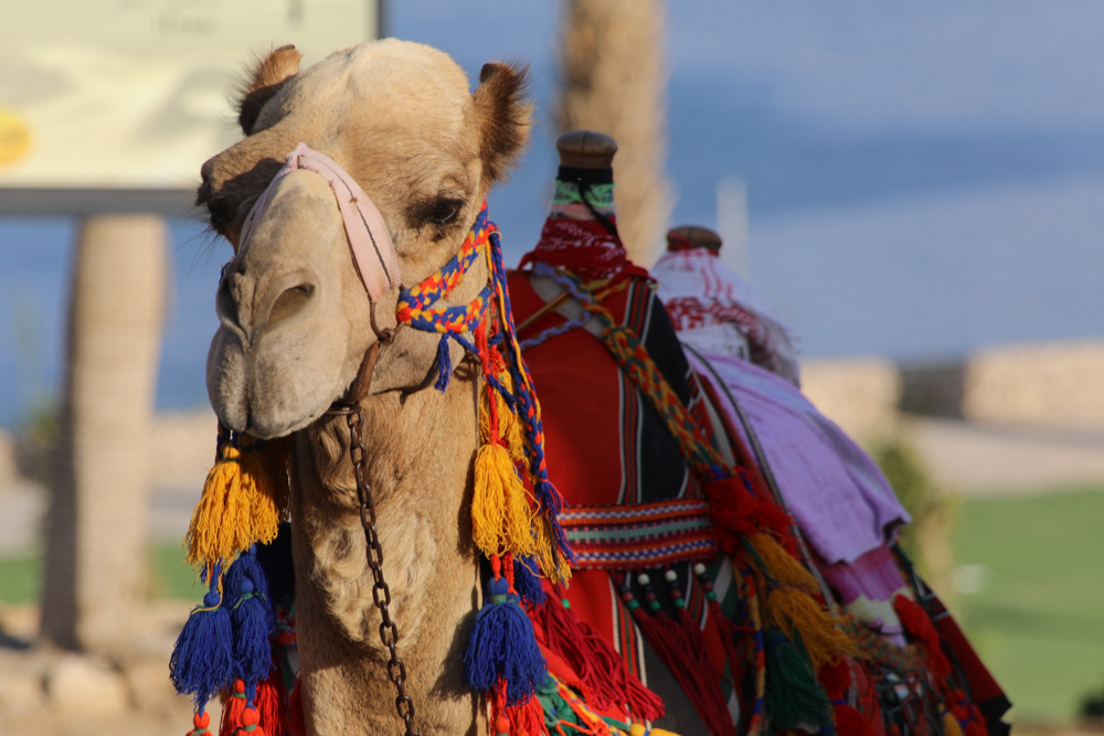 aa camel with colorful clothese.jpg
