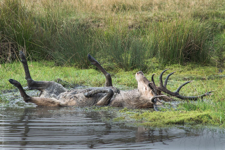 Red Deer Wallowing