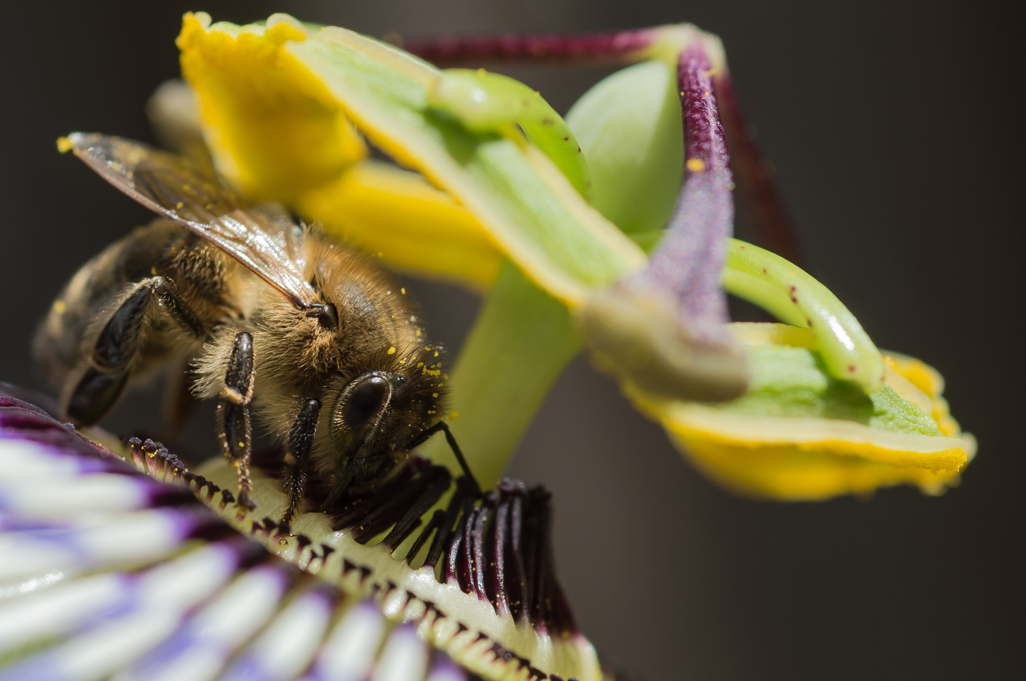 Honey Bee on Passion Flower