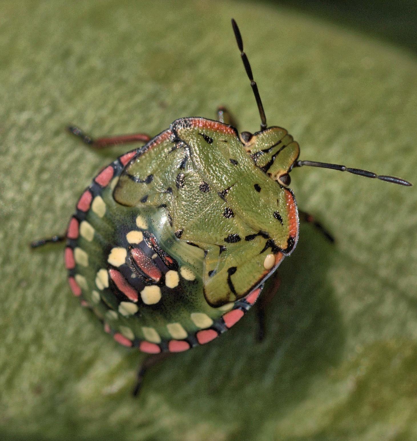 5th instar Southern Green Shield Bug