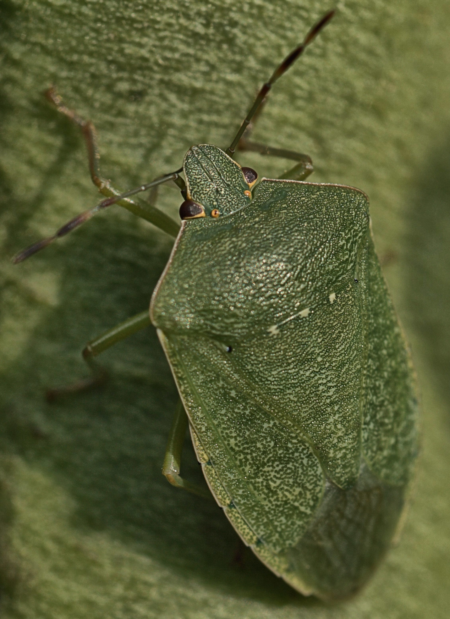 Adult Southern Green Shield Bug