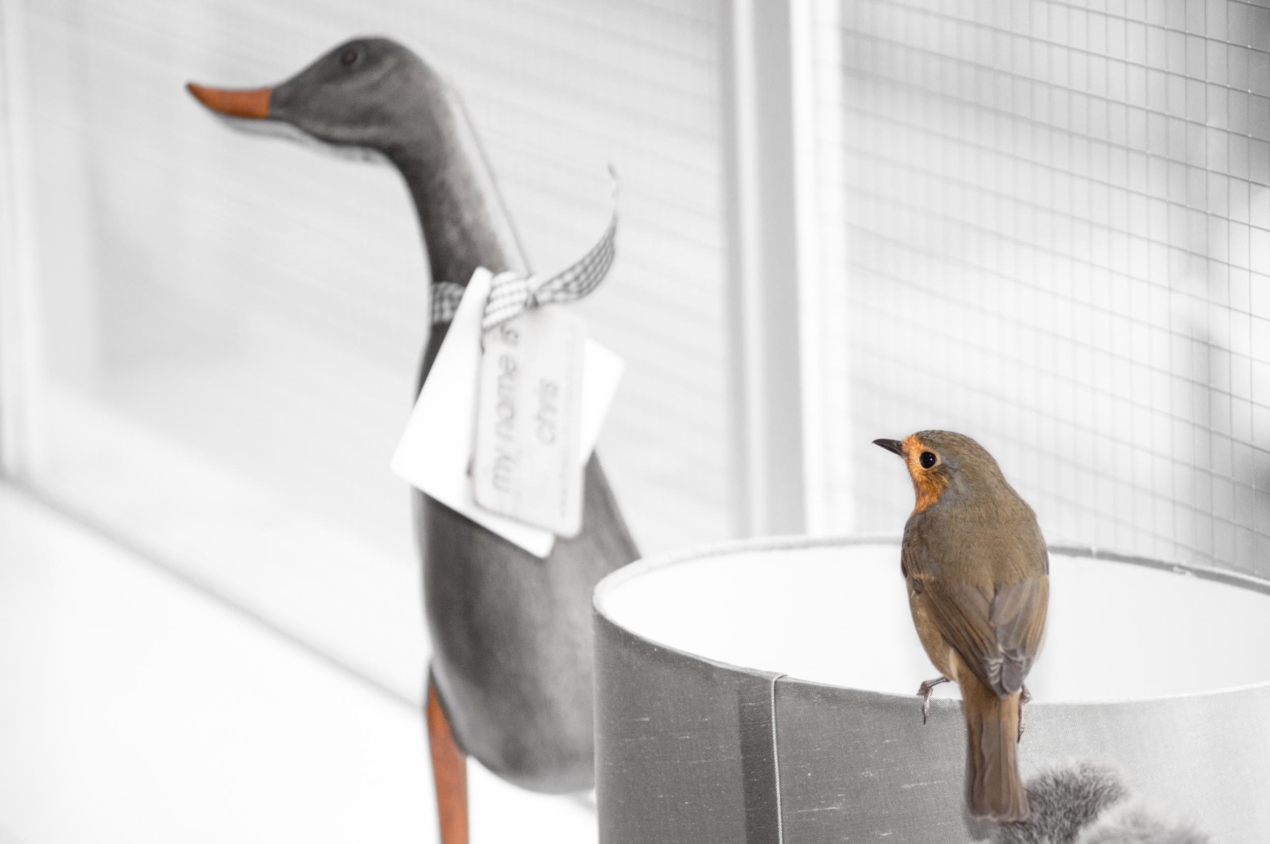Robin & Duck
