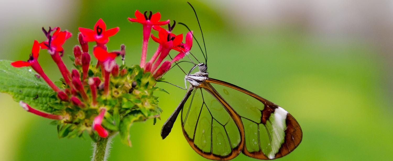 Greta_Oto_%28Glasswing%29_Butterfly_%286917391571%29.jpg