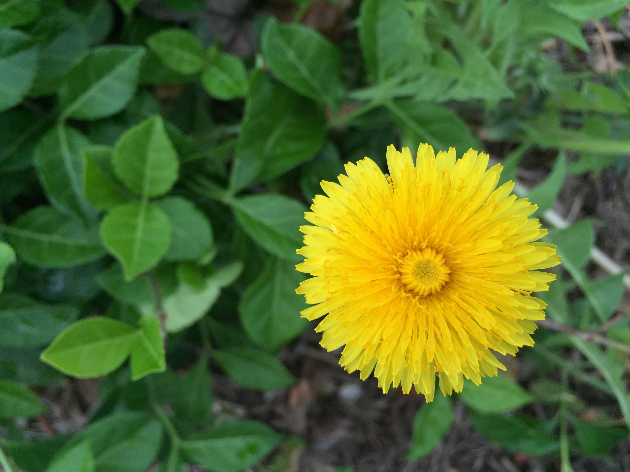 What would we do without you dear dandelion? One of the very first signs of spring.