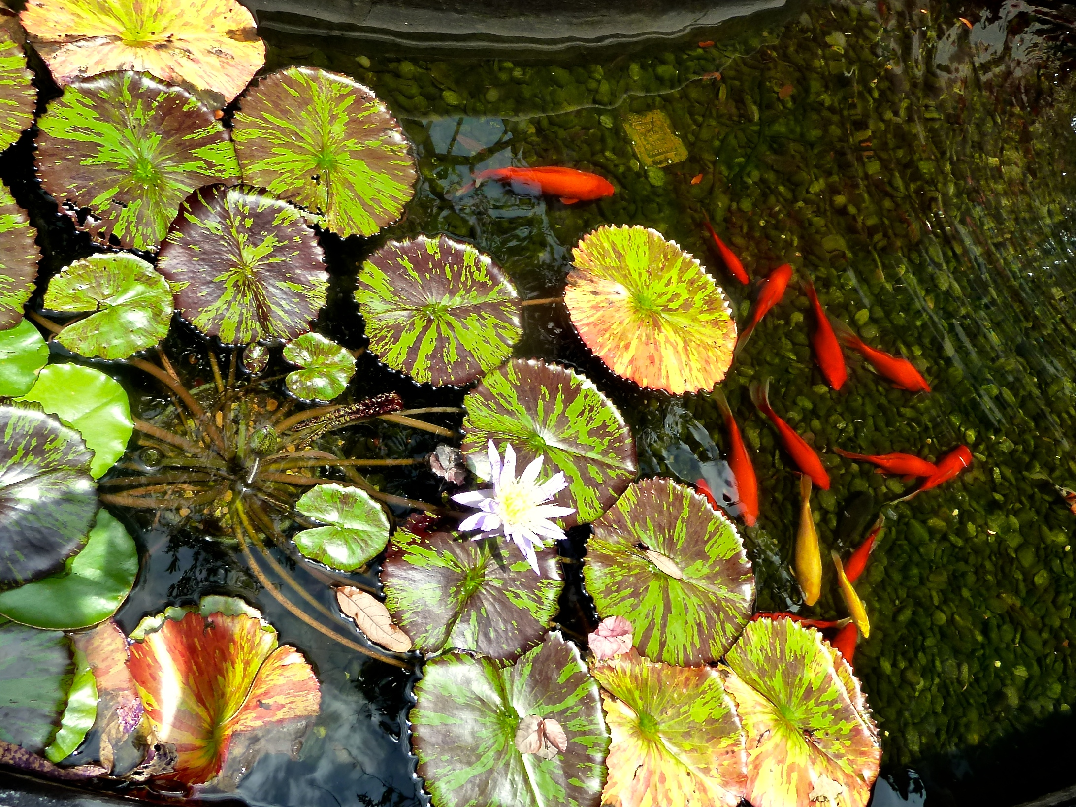 Ready for your Koi close up?