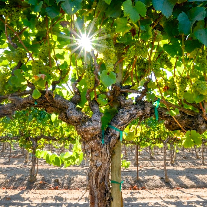Spell_Wine_2014_PinotNoirs_grapes_spiritedtable_photo1.jpg