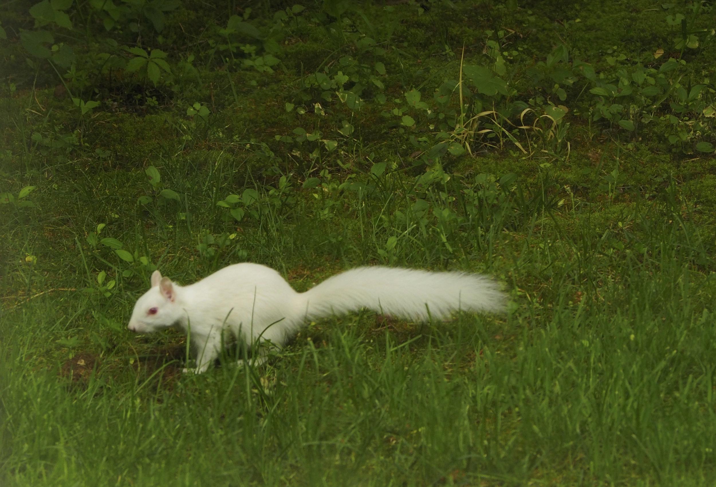 cindi_albino_squirrel_spiritedtable_photo1.jpg