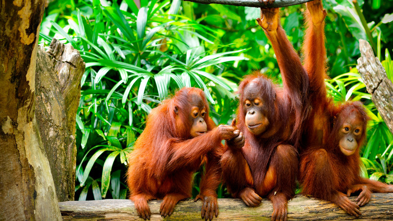 borneo_orangutan-family.jpg