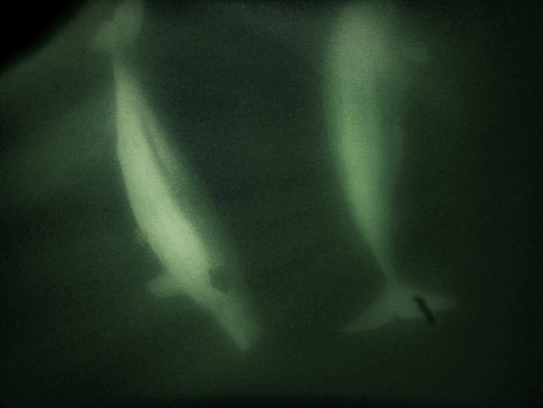teri_arctic_snorkeling_whales_spiritedtable02.jpg