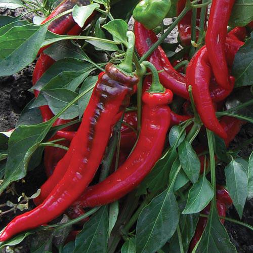 0239-jimmy-nardellos-pepper.jpg