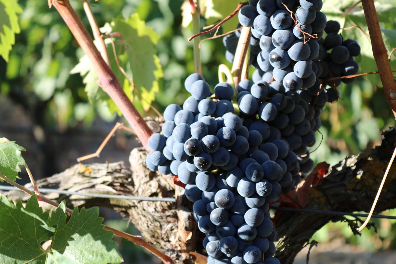 douro-grapes.jpg