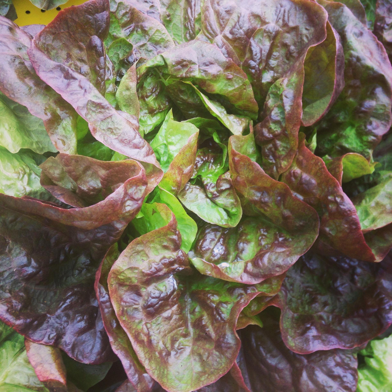 carmona lettuce.JPG