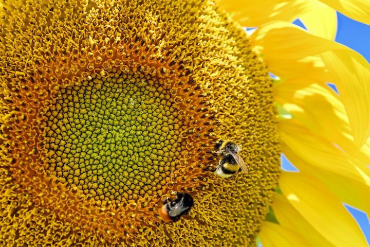 sun-flower-2495159_1920-1.jpg