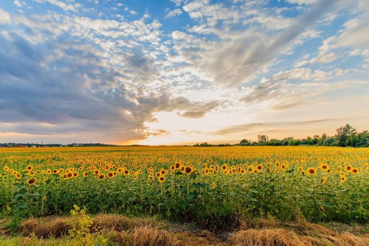 sunflower-field-summer_full_width.jpg