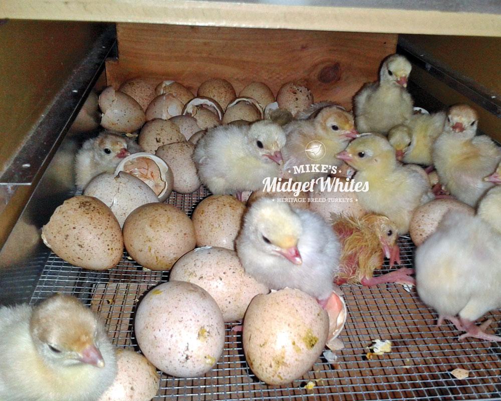 Midget-White-Turkey-Hatching-Eggs-and-Chicks-Poults.jpg