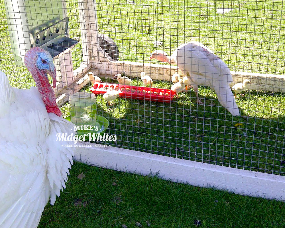 Midget-White-Turkey-Hen-Poults-and-Male-Close-Up.jpg