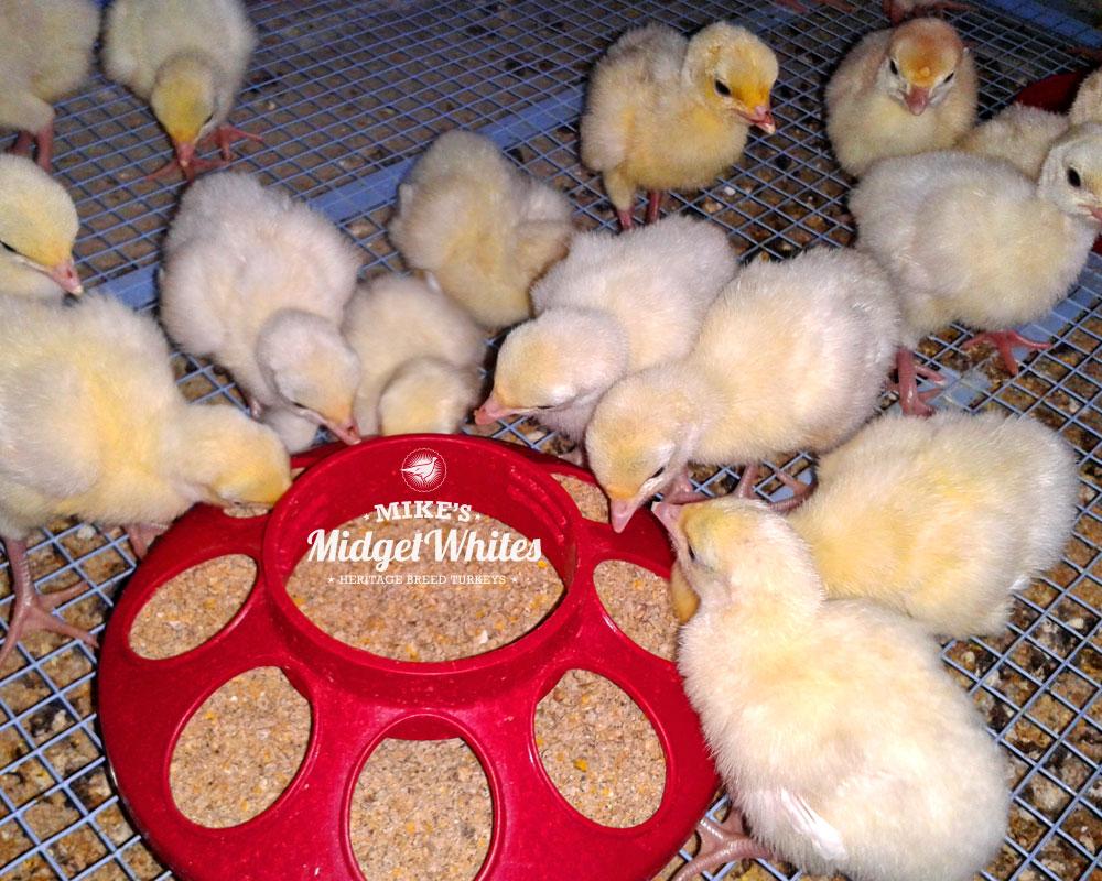 Midget-White-Turkey-Poults-Chicks.jpg
