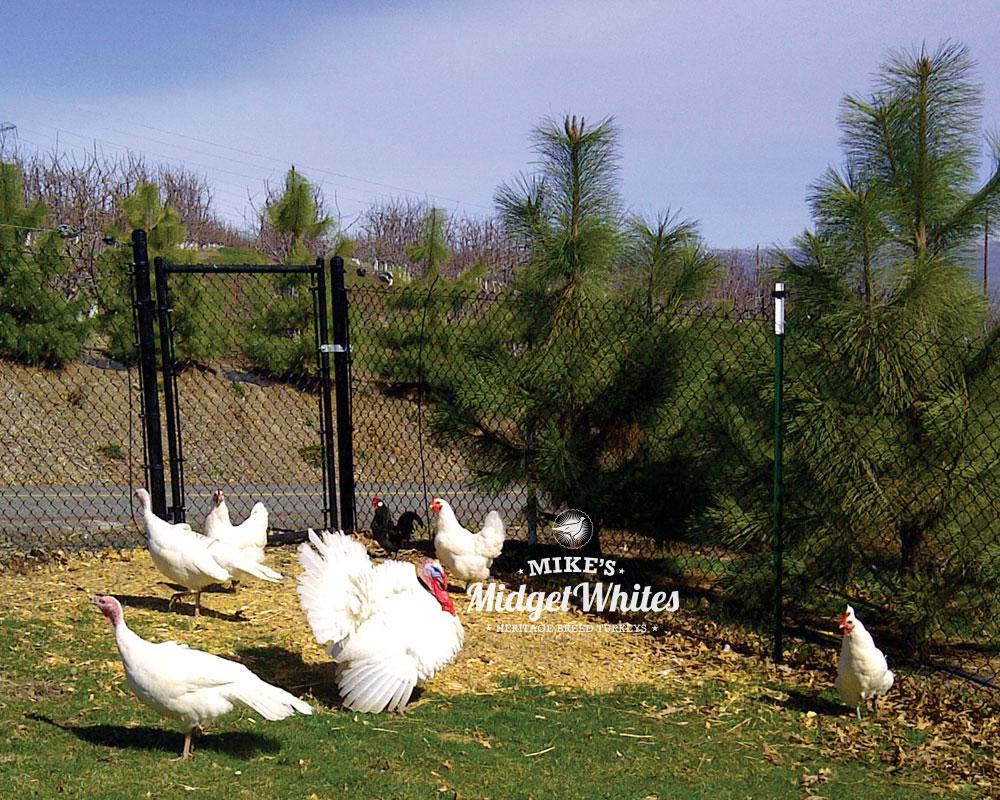 Midget-White-Turkeys-and-Chickens.jpg