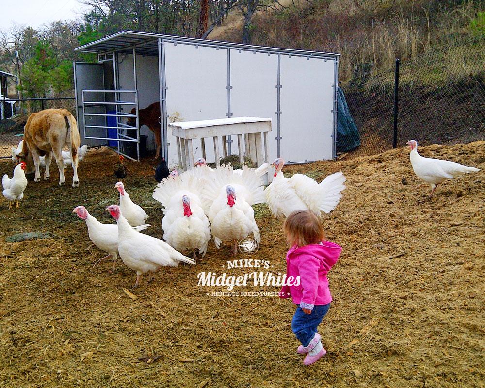 Midget-White-Turkeys-for-Urban-and-Rural-Homesteads.jpg