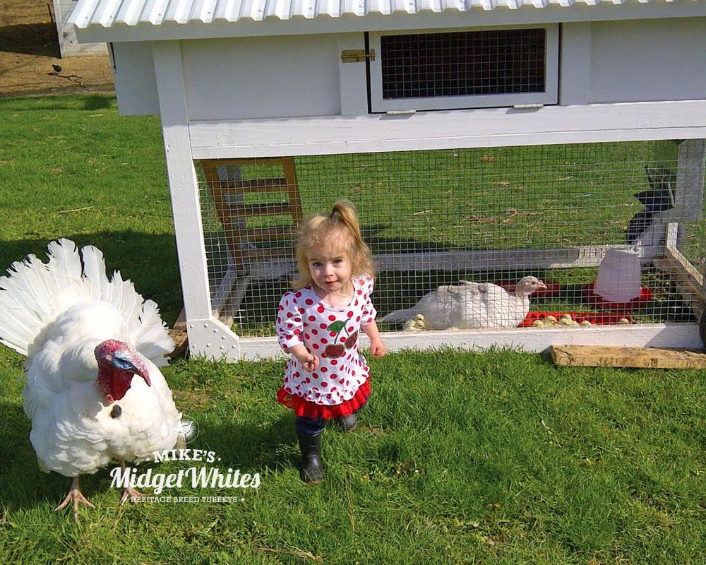 Midget-White-Turkeys-in-Backyard-Farm.jpg