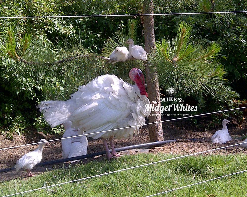 Midget-White-Turkey-Breeder-Family.jpg