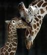 Giraffes between 400-460, rhinos about the same, seals and sea lions: 330-350 days.