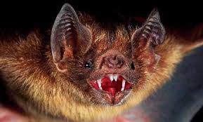 Vampire Bat's native to South American Rainforest