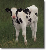 Imagine this holstein, but ball of wool plump with little horns