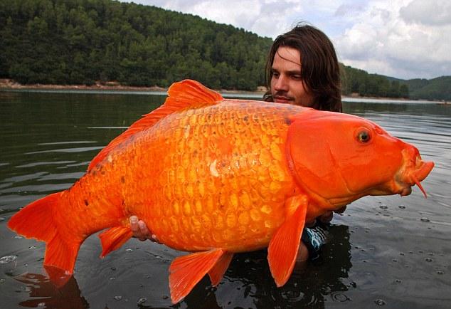 giantgoldfish1.jpg