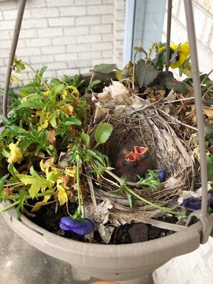 Nestlings in sis-in-law Liz's pansies.