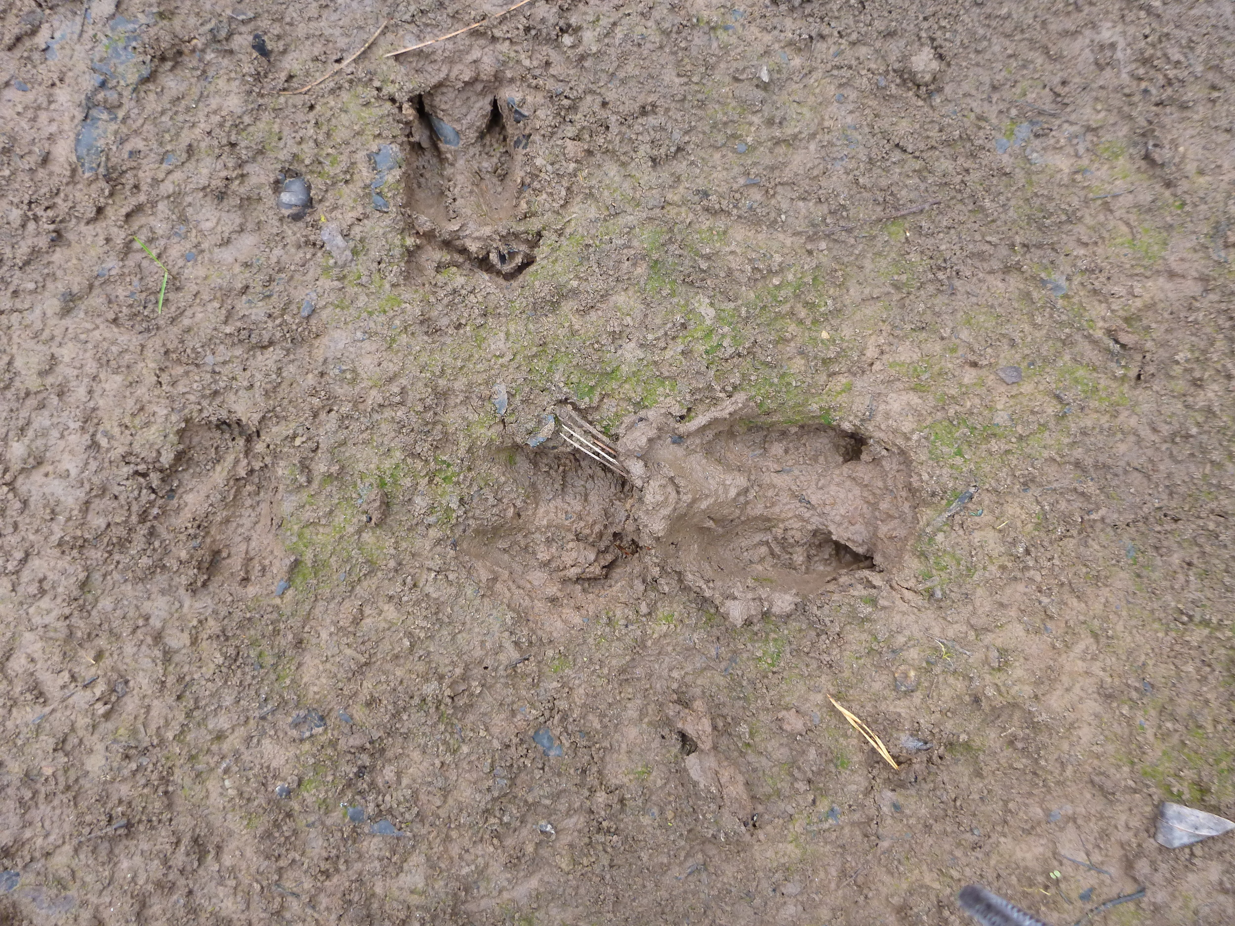 White-Tailed Deer Prints