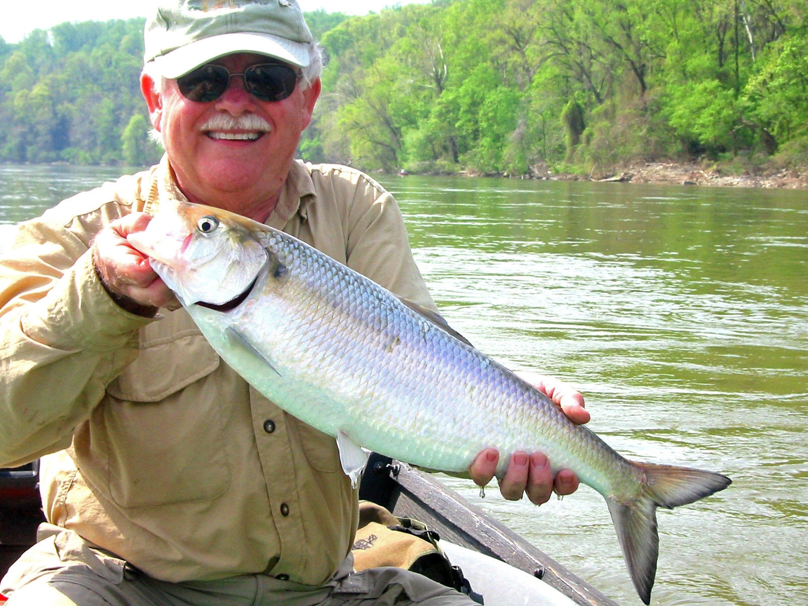Bob Bishopholding an American Shad caught in the POtomac at Fletcher's Cove. Photo Taken by Tom Guffain.
