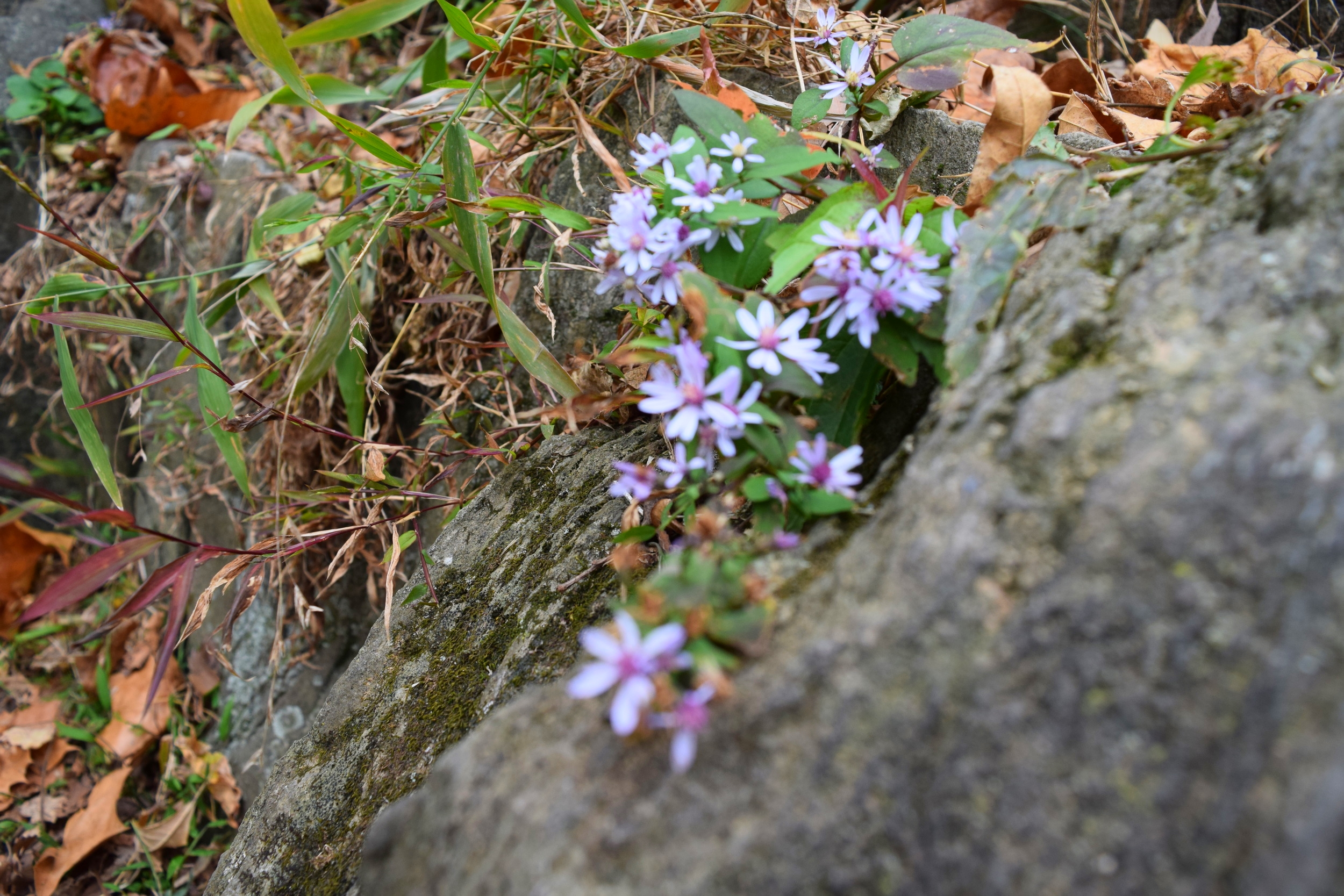 Smooth blue aster, a wonderful fall plant that provides crucial late-season nectar to pollinators like bees.