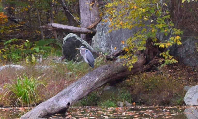 Great blue heron on the C&O Canal.
