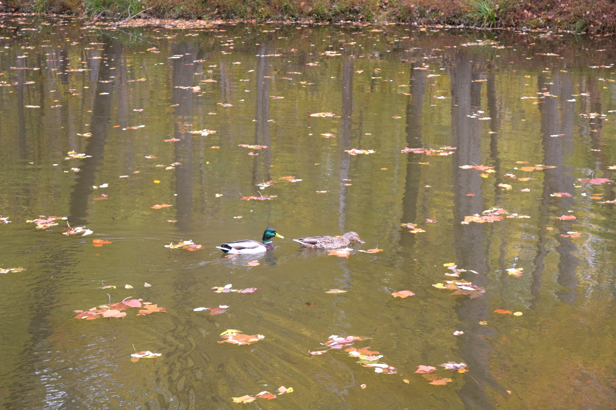 Ducks swimming along the C&O Canal.